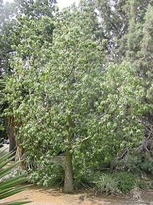 Brachychiton populneus The Ruth Bancroft Garden/Walnut Creek, CA