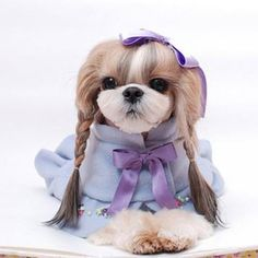 """Awesome """"shih Tzu dogs"""" detail is offered on our website. Check it out and you will not be sorry you did. Shih Tzu Puppy, Shih Tzus, Animals And Pets, Cute Animals, High Quality Dog Food, Cheap Dog Food, Teddy Bear Dog, Dog Coats, Happy Dogs"""