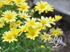 Gerber daisies  Blue Ridge Parkway, NC