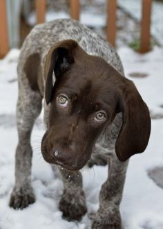 German Shorthair pointer puppy -- this will be my future puppy <3