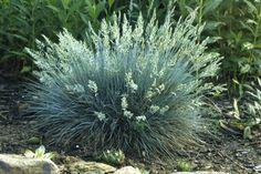 Ornamental Grasses - Elijah Blue