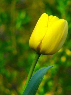 Tulip by pollyalida : flickr