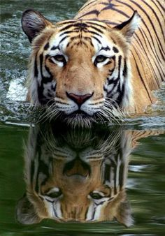 A Royal Bengal Tiger enjoys a cool swim at a zoo in Hyderabad. The striped cats, whose count has declined sharply, continue to face threats due to increasing demand for their skin and body parts in the global market. File photo