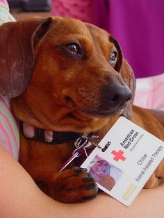 One of our furry volunteers - part of the #RedCross pet therapy program.