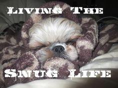 Snax the Shih Tzu puppy is a cuddle machine!