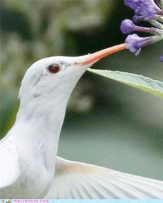 "Albino Hummingbird -- Hummingbirds are amazing.  Love birding like we do? Then, enjoy this article on ""the hummingbird capital"" state.  http://www.examiner.com/article/best-state-to-view-abundant-hummingbird-species-arizona"