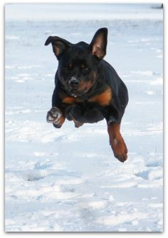 Welcome To Greendale Rotts Rottweilers, Jaba, Friends, Dogs, Animals, Amigos, Animales, Animaux, Rottweiler