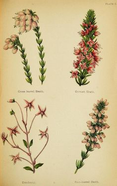 Cross-leaved Heath, Cornish Heath, Cranberry and Fine-leaved Heath. Plate from 'Wayside Weeds, or, Botanical Lessons From the Lanes and Hedgerows.' Published 1872 by Groombridge. Author - Spencer Thomson. archive.org