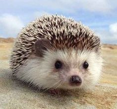 I really want a hedgehog!!