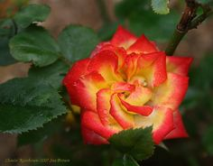 Chasin' Rainbows miniature rose