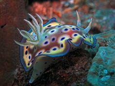 オトヒメウミウシ Chromodoris kuniei (Pruvot-Fol, See also description on the linked site. Underwater Creatures, Ocean Creatures, Beautiful Creatures, Animals Beautiful, Life Under The Sea, Salt Water Fish, Leagues Under The Sea, Saltwater Aquarium, Saltwater Tank