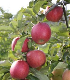 James Grieve Apple tree