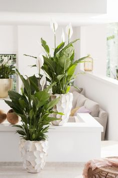 Einblatt ist Zimmerpflanze des Monats Juni The Spathiphyllum adapts very well to the humid and … Indoor Garden, Indoor Plants, Home And Garden, Decoration Plante, House Plants Decor, Interior Decorating, Interior Design, Decorating Ideas, Interior Plants