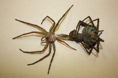 Fishing Spider (Dolomedes tenebrosus)  These spiders fascinate me :)