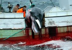 Icelanders Don't Like Whale Meat  So Why the Hunts?