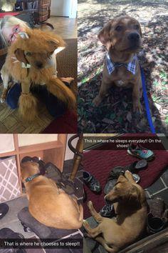 Teddy | Fox Red Labrador | Puppy | Past Litter Teaka & Duke | Balsam Branch Kennel | Wisconsin | balsam-branch-kennel-fox-red-lab-teddy-td