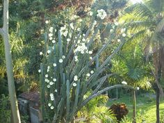 Kaktusblommor hemma hos min mamma i Brasilien!