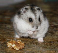 Brooke's Djungarian Hamster, Hammy! <3