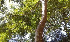 Estudo cria novo gênero de plantas para incluir árvore símbolo do nosso país