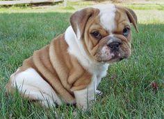 english bulldogs : )