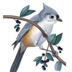 How to Find and Identify the Tufted Titmouse