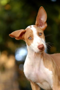 Podenco Ibicenco just love their ears