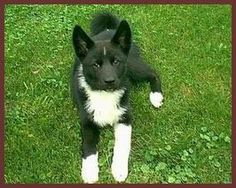Karelian Bear Dog puppy this isn't Luce(Looch) but looks just like he did .