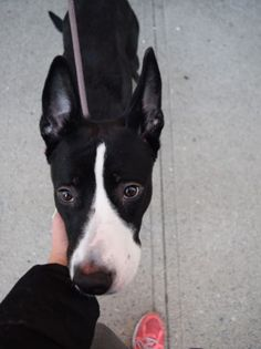 11/13/16 RESCUE ONLY - LISTED TO BE MURDERED BY NYCACC BY NOON TODAY!! Brooklyn Center My name is WINTER. My Animal ID # is A1096043. I am a female black and white greyhound mix. The shelter thinks I am about 1 YEAR I came in the shelter as a OWNER SUR on 11/06/2016 from NY 11226, owner surrender reason stated was NO TIME.