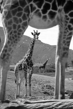 #Animal #Girafa