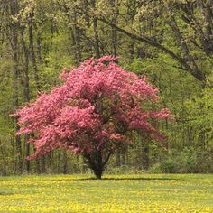 Vibrant Pink Dogwood is Easy to Grow -  Pink spring-time blooms Adaptable to various types of soil Drought tolerant Grows in sun or shade  These trees look great all year... but can literally stop traffic in the springtime with their vibrant pink blooms.  Grows rapidly to a mature height of 15-25 ft.  Pretty pink flowers start...