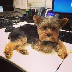 Živko is working hard at #PetSmart .....#Yorkie