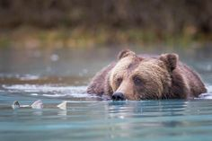 Brown Bear Eyeing Salmon, Wildlife Photography, Fine Art, Wall Decor, Animal Photography, Rob's Wildlife, Epic Wildlife Adventures by RobsWildlife on Etsy https://www.etsy.com/listing/210679988/brown-bear-eyeing-salmon-wildlife