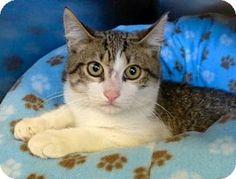Westampton, NJ - Domestic Shorthair. Meet C-65772 Bruno, a kitten for adoption. http://www.adoptapet.com/pet/13653708-westampton-new-jersey-kitten