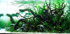 金賞 Nature Aquarium, Aquarium Fish, Aquascaping, Aquarium Design, Underwater World, Freshwater Aquarium, Fish Tank, Terrarium, Fresh Water
