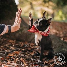 """•BT Feature Account• on Instagram: """"High Five if you like Boston Terriers! 🖐🏼🖐🏼🖐🏼 #highfivesallaround #lookatthatface ❤️ . Photo by @rambouskovaj . Don't forget to follow…"""" Baby Pugs, Baby Puppies, Bulldog Puppies, Boston Terrier Love, Funny Boston Terriers, Boston Terrior, Black Lab Puppies, Mans Best Friend, In This World"""
