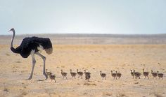 Ostrich dad with fifteen little ones in Nambia  via: Peter Pischler - Photographers Of Africa