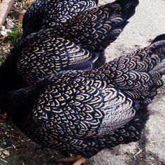 Zwerg Barnevelder silber-schwarz doppeltgesäumt