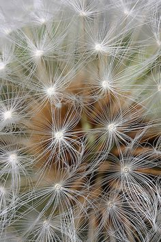 Dandelion seed, Lord V via Flickr.