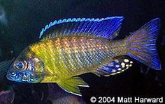 Blue Neon: adult male
