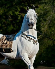Arabian horse -- Look at that chest, that proud carriage.