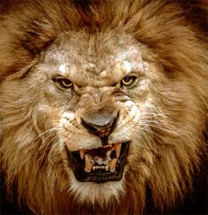 angry lion drawings - Google Search