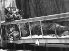 """During National Cat Week in November 1952, Los Angeles hosted more than 300 felines and their owners from all over the country for America's biggest cat show of the year. """"One couple from Wyoming,"""" LIFE magazine informed its readers in an issue published a few weeks later, """"arrived in grand style in a big green Cadillac with six highly pedigreed cats.""""  George Silk—Time & Life Pictures/Getty Images Cat show, Los Angeles, Calif., 1952"""