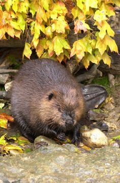 The sturdy and industrious beaver:)