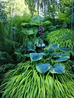 a great combo! Hosta Frances Williams with Hak Mak--Japanese Forest Grass and hosta 'Sum and Substance'.Just a great combo! Hosta Frances Williams with Hak Mak--Japanese Forest Grass and hosta 'Sum and Substance'. Shade Garden Plants, Hosta Plants, Shade Perennials, Japanese Garden Plants, Back Gardens, Outdoor Gardens, Hosta Frances Williams, Landscape Design, Japanese Gardens