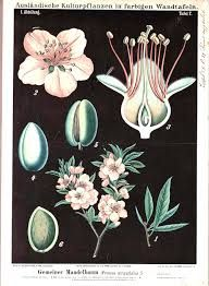 Image result for botanical illustrations public domain
