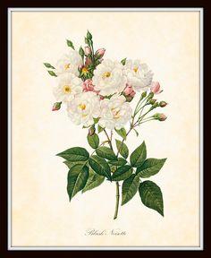 Antique Blush Noisette Redoute French Botanical Art Print 8 x 10 Digital Collage Home Decor Wall Art