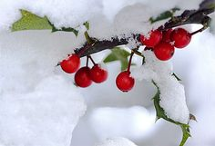 Red Berries in The Snow.