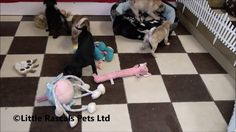 Little Rascals Uk breeders New litter of 7/8th Pug puppies