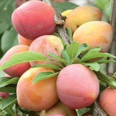How to Grow a Mango Tree | Learn how to grow your own supply of this juicy tropical fruit every summer