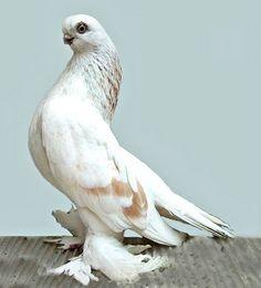 Berlin Short-faced Tumbler. A decendant of the Rock Pigeon